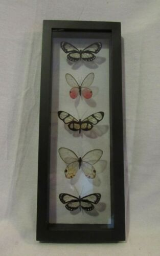 Framed Peruvian butterfly display - 5 elegant and colorful species - glass wing!