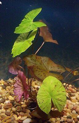 Single Live Tiger Lotus Lily Bulb   Java Marimo Fish Aquarium Tank Plants Plant