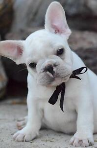 AWESOME FRENCH BULLDOG PUPPY Brisbane City Brisbane North West Preview