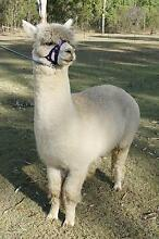 starter herd of alpacas stud male & 3 in 1 female, cria at foot Lowood Somerset Area Preview