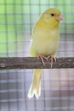 SOLD P/P baby Phaeo canary (Has red eyes) Berri Berri Area Preview