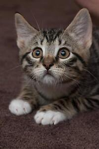 Buddy rescue KITTEN to adopt VET WORK INC Butler Wanneroo Area Preview