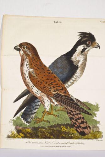 OISEAUX FALCO Faucons Crécerelle et Faucon Pêcheur Mountain Kestrel Gravure 1805