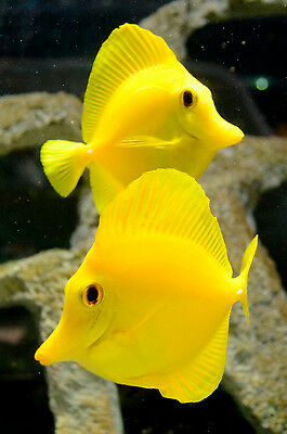 "Live Beginner Saltwater Fish - 3"" Yellow Tang - Peaceful Marine Algae Grazer"