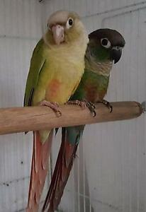Baby Green Cheek Conure Pets Southport Gold Coast City Preview