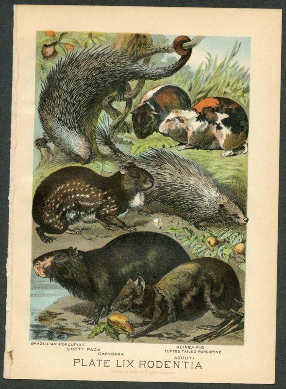 GUINEA PIG, PAGA, PORCUPINE, Vintage 1897 Chromolithograph Print, Antique, 059