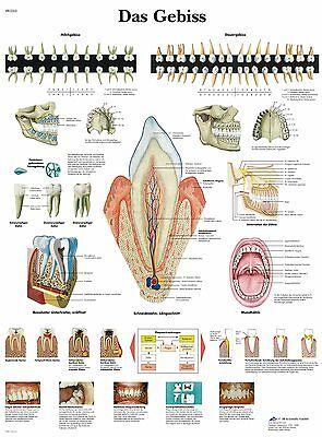 menschliches Gebiss  Lehrtafel  Anatomie 50 x 67cm Poster