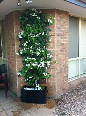 Madagascar Jasmine Vine Live Plant~stephanotis Floribunda Bridal Wreath 10