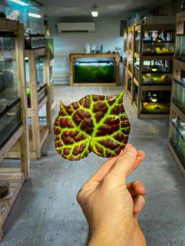 Begonia rajah (Leaf Cutting) - Vivarium Plant, Terrarium Plant, Dart Frog Safe