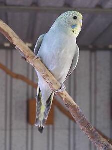 Young Budgies Rosewood Ipswich City Preview