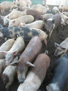 sucker piglets Coorow Coorow Area Preview