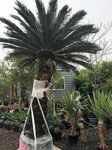 GIANT CYCADS Kemps Creek Penrith Area Preview