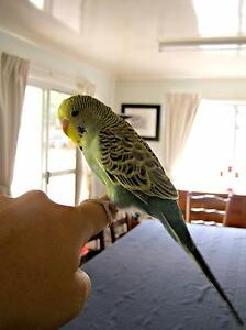 Hand Tamed Young Budgie Rosewood Ipswich City Preview
