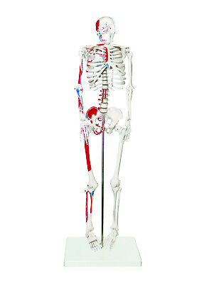 """(Vision Scientific Half Size Human Skeleton- 33"""" (84cm) with Muscles)"""