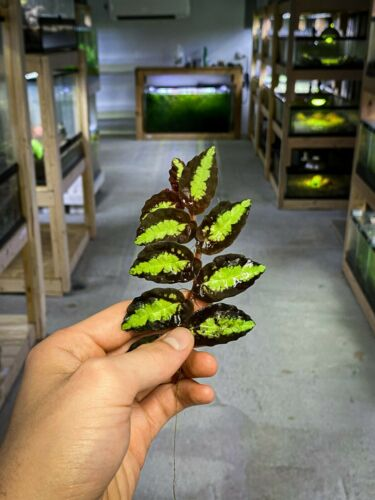 Pellionia repens(Uncommon) - Dart Frog VIVARIUM / Terrarium Plant - Stem Cutting