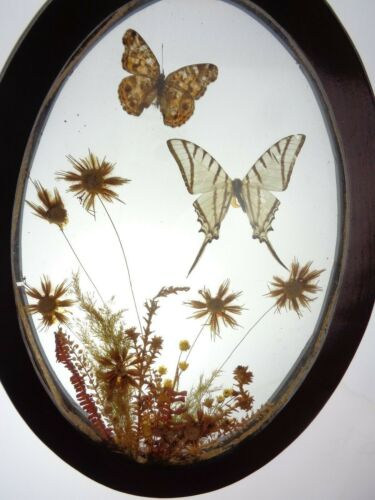 Vintage 1970s BUTTERFLIES Under Glass Oval Framed Dried Flowers
