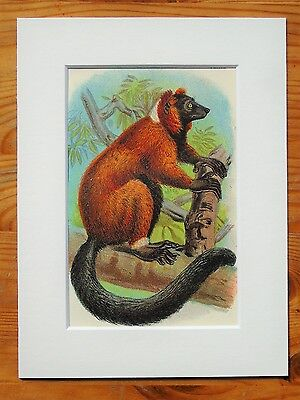 Red Lemur - Mounted Antique Animal Monkey Primate Print Victorian Lithograph