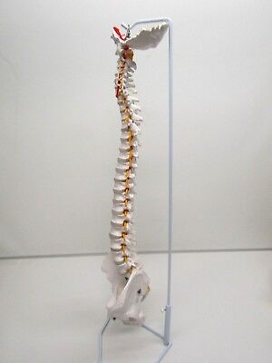 Wellden Medical Anatomical Flexible Spine Model With Pelvis And Femur Heads 34