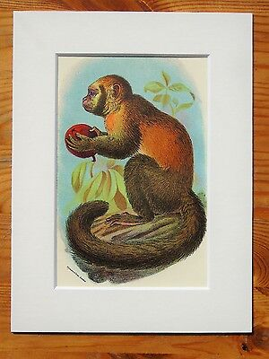 Capuchin - Mounted Antique Animal Monkey Primate Print Victorian Lithograph