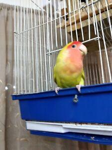 Love bird  100$ inseparable