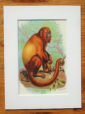 Red Howler - Mounted Antique Animal Monkey Primate Print Victorian Lithograph