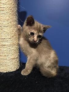 Burmese Kittens Nelsons Plains Port Stephens Area Preview
