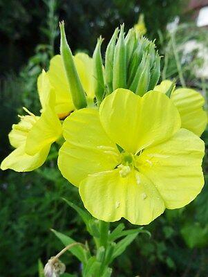 Oenothera biennis GEMEINE NACHTKERZE über 200 Samen