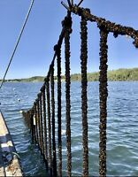 Mussel Farming, Murray River, 17.50hr, 55hr week