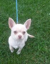 Chihuahua Purebred Quality Smooth Coat Male Pup On Main Register Melton Melton Area Preview