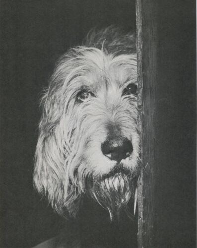 PEEKING OTTERHOUND DOG Vintage Full Page 50 year-old Photo Print