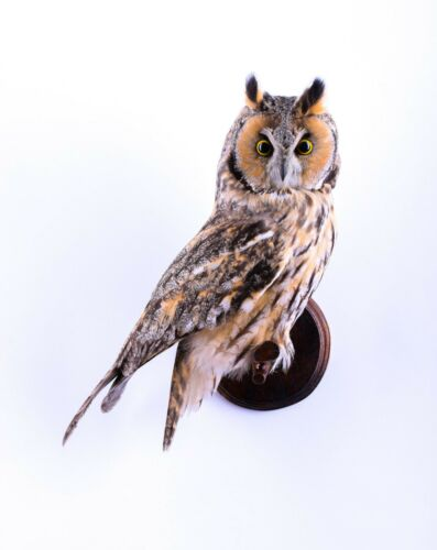 Taxidermy Long-eared owl Bird Real Stuffed mounted Asio otus