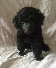 Toy Poodle with Pedigree Gympie Gympie Area Preview