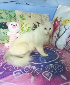 Rare Turkish Angora Rescue Cat (Desexed, Microchipped)