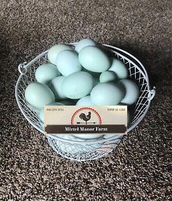 Whiting True Blue Npip Hatching Eggs Blue Eggs