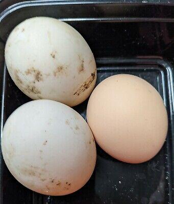 4 Barnyard Surprise Fertile Duck Hatching Eggs
