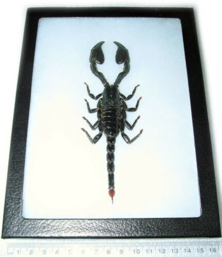 REAL GIANT AFRICAN EMPEROR SCORPION FRAMED ARACHNID