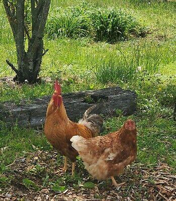 Fresh Fertile Chicken Hatching Eggs - Assorted Barnyard Mix 12 Eggs