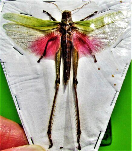 Beautiful Fairy Grasshopper Chondracris rosea Male Spread FAST FROM USA