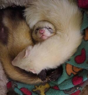 Ferret Boarding, Ferret Rescue, Free vassy services..