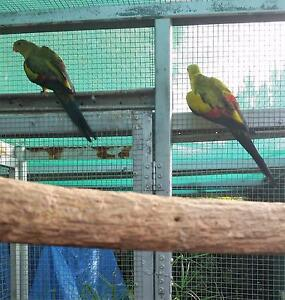 Regent Parrots Greenwith Tea Tree Gully Area Preview