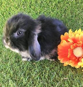 PURE BRED FLUFFY MINI LOP BABIES - ONLY TWO LEFT Perth Region Preview
