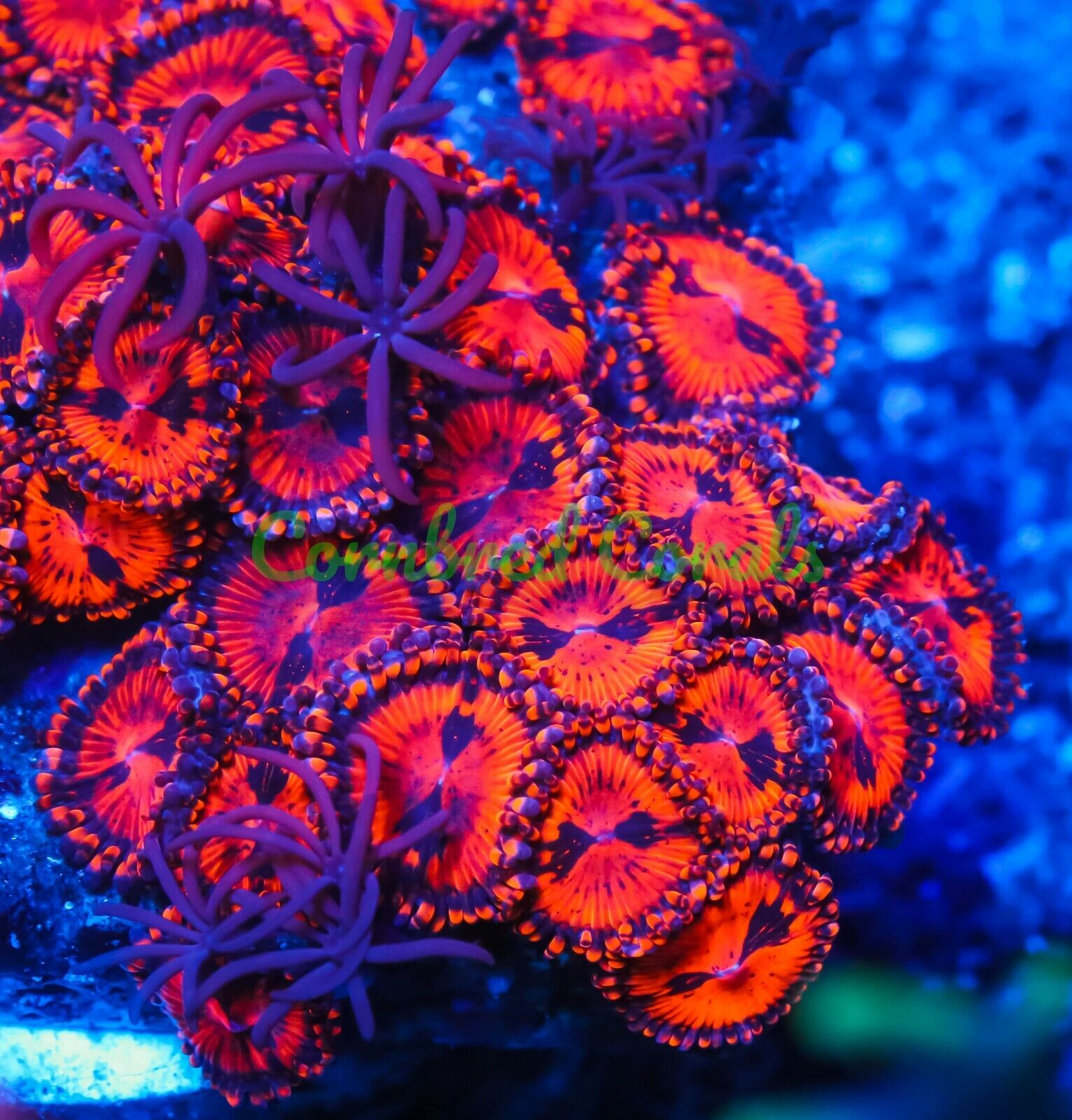 Cornbred s Queen Of Diamonds Palys - 1 POLYP - Frag - LIVE CORAL - $74.99