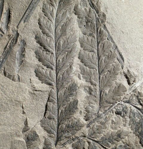 Very Rare Carboniferous fern Discopteris pre dinosaur fossil plant leaves