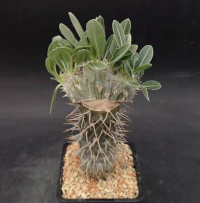 Pachypodium Densiflorum crested POTcm8,5 Grafted Cod 355 Caudex Succulent Cactus