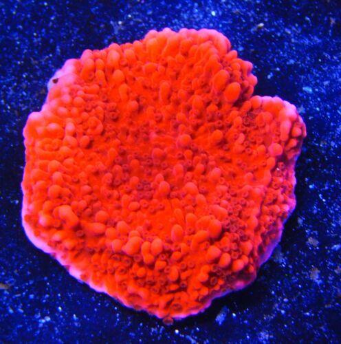 Red Montipora Capricornis< WYSIWYG CORAL AUCTION > Seven Seas Aquatics SSA