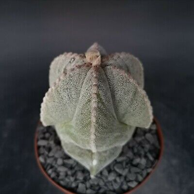 Astrophytum Coahuilense monster ex Tricostatum POT cm 12 Cod 752 Cactus Store