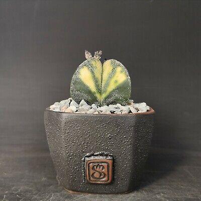 Astrophytum Myriostigma V variegated POT 10 cm on roots Cod 241 Succulent Cactus