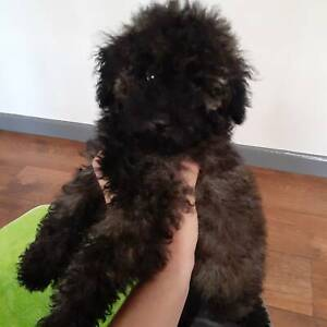 Purebred Toy Poodle Puppy
