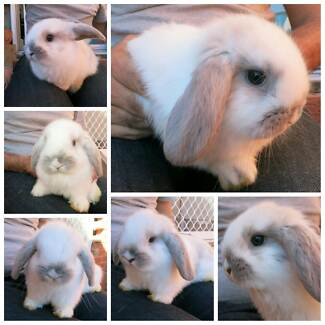 7 Week old dwarf lop Seal point and sooty white rabbits for sale Kingsgrove Canterbury Area Preview
