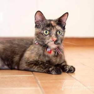 Sookie rescue kitten NC0631 VET WORK INCLUDED